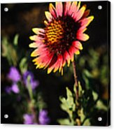 Indian Blanket Acrylic Print by Thomas Pettengill