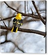 Indian Golden Oriole Acrylic Print