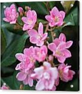 Indian Hawthorn Blossoms Acrylic Print