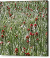 Indian Paintbrush And Foxtail Barley Acrylic Print