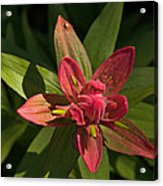 Indian Paintbrush Closeup Acrylic Print