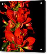Indian Paintbrushs For Mom Acrylic Print