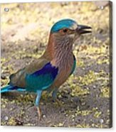 Indian Roller Acrylic Print