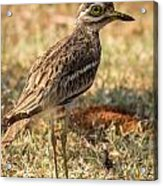 Indian Stone-curlew Or Indian Thick-knee Acrylic Print