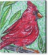 Indiana Cardinal Redbird Acrylic Print