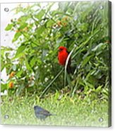 Indigo Bunting And Scarlet Tanager 2 Acrylic Print