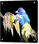 Indigo Bunting - Img 423-008 Acrylic Print