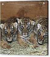 Indochinese Tiger Cubs In Sleeping Box Acrylic Print