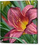 Inflamed - Lily Acrylic Print