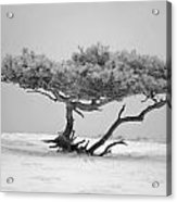 Infrared Photo Of Pine In Winter Landscape In The Nature Dwingelderveld In The Netherlands Acrylic Print by Ronald Jansen