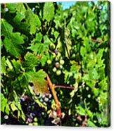 Inglenook Vineyard -10 Acrylic Print