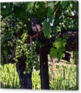 Inglenook Vineyard -11 Acrylic Print