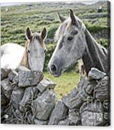 Inishmore Horses Acrylic Print