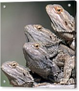 Inland Bearded Dragons Acrylic Print