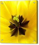 Inner Tulip Macro Acrylic Print
