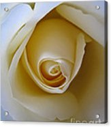 Innocence White Rose 5 Acrylic Print