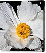 Innocent Krinkle - White Peony By Diana Sainz Acrylic Print