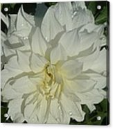 Innocent White Dahlia  Acrylic Print