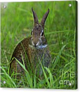 Inquisitive Rabbit Watching You Acrylic Print
