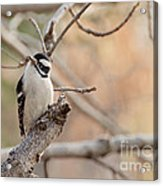 Inquisitive Woodpecker Acrylic Print