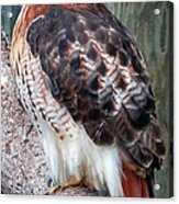Inquisitve Red Tailed Male Hawk Acrylic Print