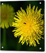 Insects On A Dandelion Flower - Featured 3 Acrylic Print