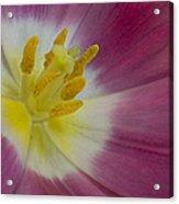 Inside A Pink Tulip Acrylic Print
