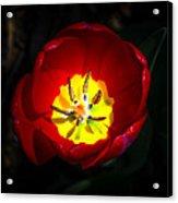 Inside A Tulip Acrylic Print