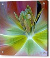 Inside The Tulip Acrylic Print