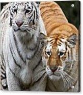 Intent Tigers Acrylic Print
