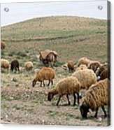 Iran Sheep Acrylic Print