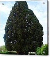 Iran Yazd Cedar Tree Acrylic Print