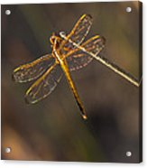 Iridescent Dragonfly Wings Acrylic Print