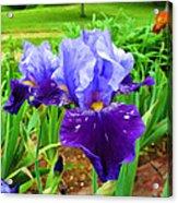 Iris #36 Acrylic Print