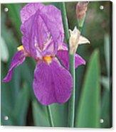 Iris 6 Acrylic Print