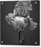 Iris After The Rain Acrylic Print