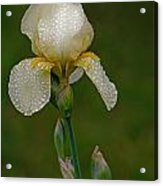 Iris After The Rain Acrylic Print by Mamie Thornbrue