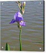 Iris At The Lake Acrylic Print