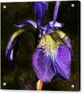 Iris Baroque Acrylic Print