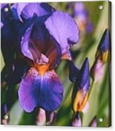 Iris Bloom Acrylic Print