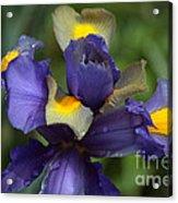 Iris Close Up Acrylic Print