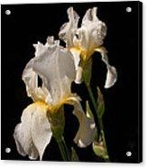 Iris Cream Acrylic Print
