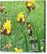 Iris Dancers Acrylic Print