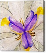 Lily Flower Macro Photography Acrylic Print