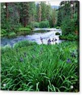 Iris Flowers By The Metolius River Acrylic Print