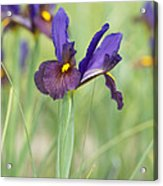 Iris Hollandica 'eye Of The Tiger' Acrylic Print by Tim Gainey