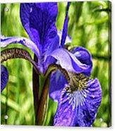 Iris In Grass Acrylic Print