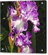 Iris In June Acrylic Print