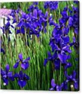 Iris In The Field Acrylic Print