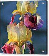 Iris In The Morning Acrylic Print